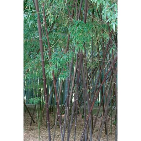 Саженцы бамбук черный