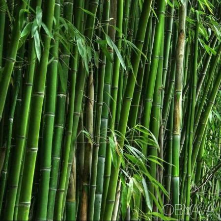 Саженцы бамбука зеленого