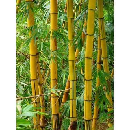 Саженцы бамбук желтый