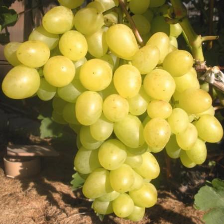 "Саженец виноград ""Аркадия"""
