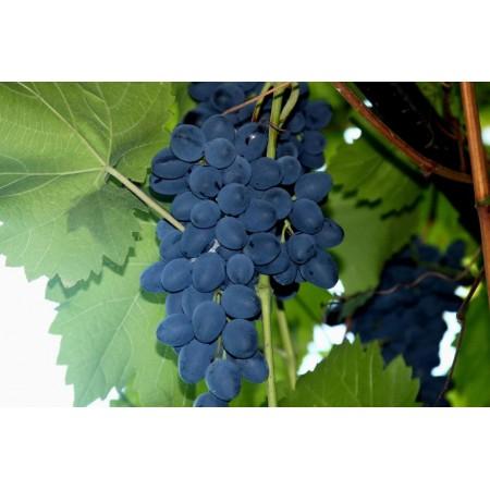 "Саженец виноград ""Молдова"""