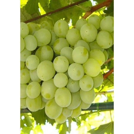 "Саженец виноград ""Кеша"""