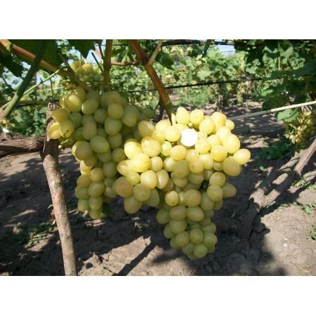 """Саженец виноград """"Лора"""""""